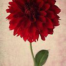 red dahlia by OldaSimek