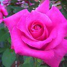 Pink rose by AmandaWitt