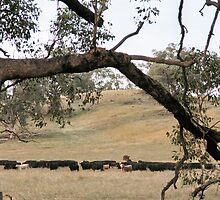 Cattle on the Hill by julie anne  grattan