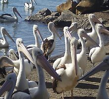 Pelicans Waiting for Fishermen Cleaning Their Fish. by Mywildscapepics