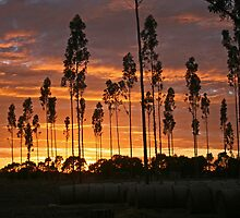 Sunrise among the gum trees by Nick Hunt