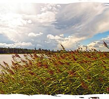 storm coming on a phragmites field by marmur