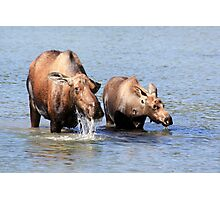 Cow Moose and her Calf Photographic Print