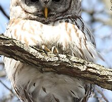 Barred Owl in the Back Yard by Pete Nunweiler