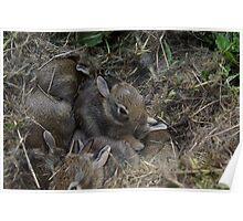 Nest of Baby Bunnies Poster