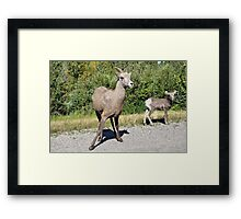 Mountain Sheep Mom and Baby Framed Print