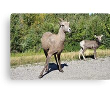 Mountain Sheep Mom and Baby Canvas Print