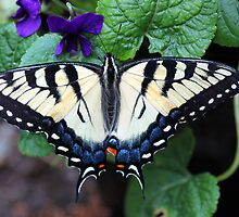 Eastern Tiger Swallowtail by nymphalid