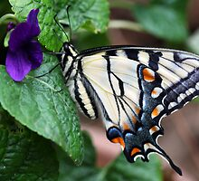 Resting Tiger Swallowtail,in profile by nymphalid
