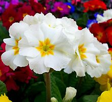 First primroses by daffodil