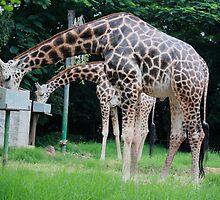 Giraffe Siblings by Indrani Ghose