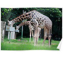 Giraffe Siblings Poster