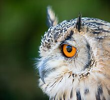 Portrait of an Eagle Owl by Constantinos Stathoulis