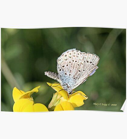 Zephyr Blue,  plebeius pylaon Poster