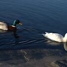 The Odd Couple of Lake Banook by murrstevens