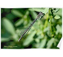 Female Azure  Damselfly   coenagrion puella Poster