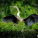Anhinga in the Tree by Photography by TJ Baccari