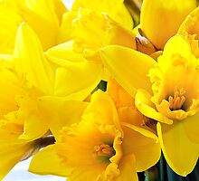 Daffodils by David Bradbury