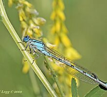 Common Blue Damselfly,  Enallagma cyathigerum by pogomcl