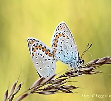 Mating Reverdin Blue Plebejus argyrognomon by pogomcl