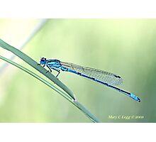 Male Azure Damselfly, coenagrion puella Photographic Print