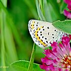 Idas Blue, plebejus idas by pogomcl