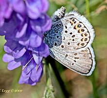 Idas Blue , plebejus idas, male by pogomcl