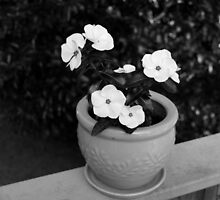 Vincas in Black and White by WeeZie