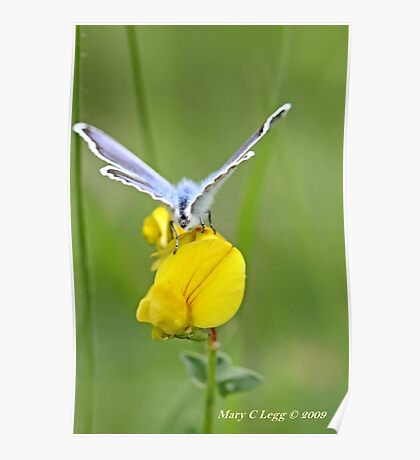 Blue butterfly   on  birdsfoot trefoil Poster