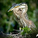Two Baby Great Blue Herons by TJ Baccari Photography