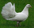 White Fantail Pigeon by Carol Bleasdale