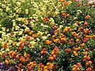 Field of Lantana Flowers by Lucinda Walter