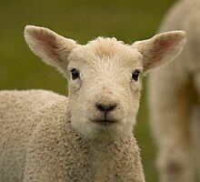 Little spring lamb two by Jon Lees