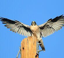Peregrine Falcon by DavidQuanrud