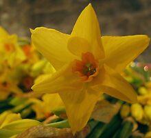 Narcissus by Carol Bleasdale