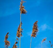 Reeds and Blue Sky by LeeAnne Emrick