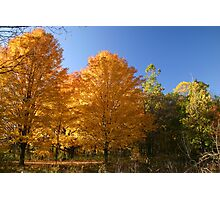 Gold Autumn Trees Photographic Print