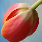 Tulip 3 by Anthemis