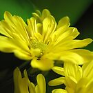 Yellow Spring Flower  by Gloria Abbey