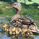 Mallard Mama with her Babies by Teresa Zieba