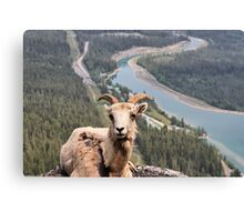 Female Mountain Bighorn Sheep Canvas Print