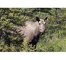 Moose in Kananaskis  Photographic Print