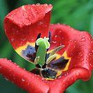 Wet Tulip Delight by Teresa Zieba