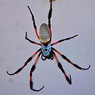 spider by sallysphotos