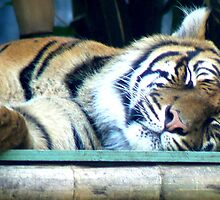 Tiger Sleeping at Taronga Zoo by DStewart1
