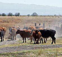 Cattle Run by Julia Washburn