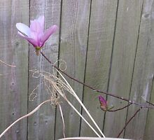 Tulip Magnolia on the Fence by CJ Obray
