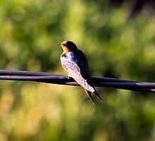 Bird on a wire by john  Lenagan