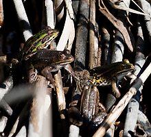 bullfrogs, Oasi Naturalistica di Persano, Campania, Italy by Andrew Jones