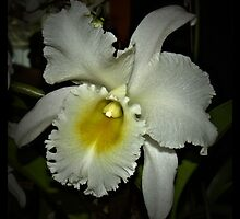 White Orchid by tvlgoddess